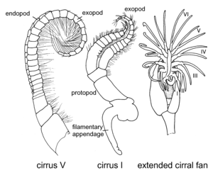 Filamentary appendage Illustration