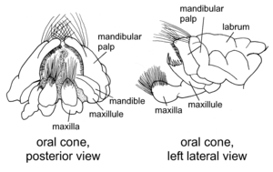 Oral cone Illustration