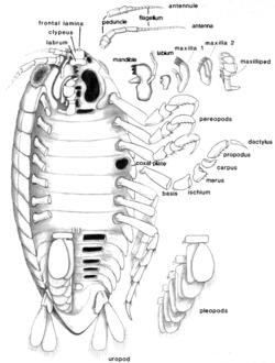 crustacea glossary