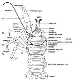 crustacea glossary  definitions