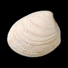 Acila castrensis, Timms Point Silt, LACMIP 62-240
